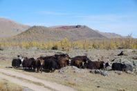 Der erloschene Vulkan Khorgo wird von uns und den Yaks bewundert