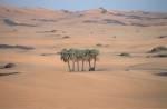 einsame Palmen in Libyen