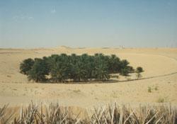 Palmentrichter in der Souf-Region