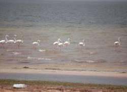 0160_Flamingos suedl_ Iouik