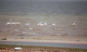 ...weniger selten sind Flamingos