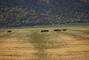 Wasserbüffel im Nationalpark Ichkeul