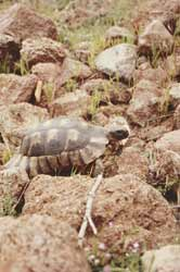 Zutrauliche Landschildkröte