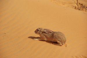 Ein Pachtexemplar von Wüstenhase