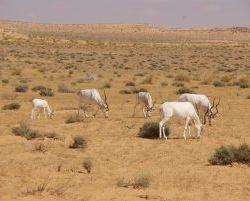 3490_Gazellen_im_Nationalpark_Djebil