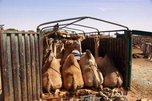 ...Kamele verhökert.