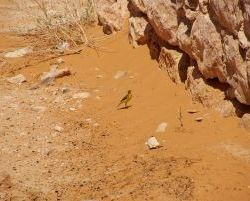 3690_Vogel_in_Ksar-Ghilane
