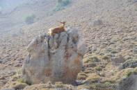 Ziege auf einem Felsen