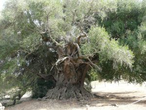 Die Olivenbäume am Lago di Liscia...