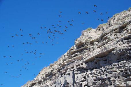 ...eine der weltgrößten Kolonien von Loros Patagonicos an.