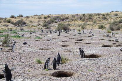 ...einer großen Magellan-Pinguin-Kolonie, ...