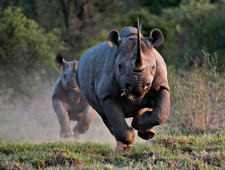 most-dangerous-game-black-rhino