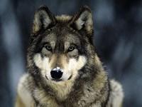grey-wolf-400