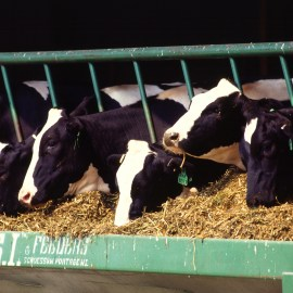 Dairy cows for Sierra Club article on regulations on dairy farm water quality