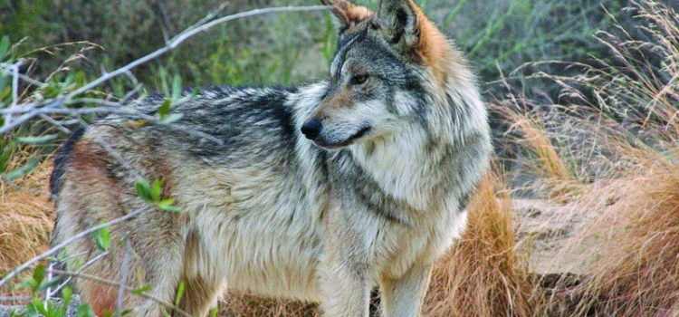 What is an endangered wolf worth?