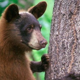 Photo of Brown Bear for Sierra Club Rio Grande Chapter website
