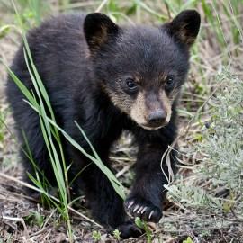 Photo of a black bear cub for the Sierra Club Rio Grande Chapter website.