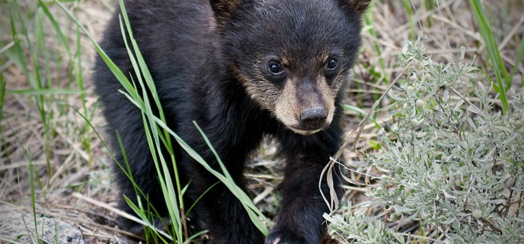 Photo of a black bear cub for the Sierra Club Rio Grande Chapter website.