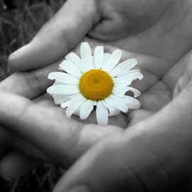 Photo of a daisy being cradled for the Sierra Club Rio Grande Chapter website