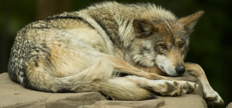 Game Commission to consider wolf-holding permit Feb. 26