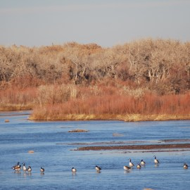 Photo of Canada Geese in the Rio Grande Bosque