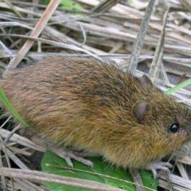 photo of meadow jumping mouse