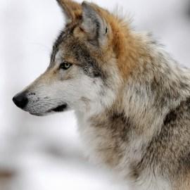 NM backs weak federal wolf plan