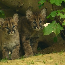 Cougar Kittens, photo by Anne Marie Kalus