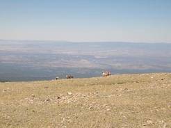 Bighorn sheep enjoying the view from the summit.
