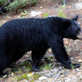 Bear talk at PEEC – October 19