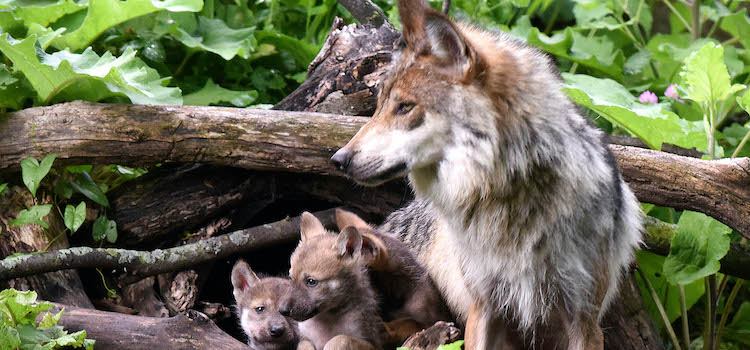 Wolf news, good and bad