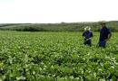 Chuvas retomam ânimo dos produtores e soja segue em desenvolvimento