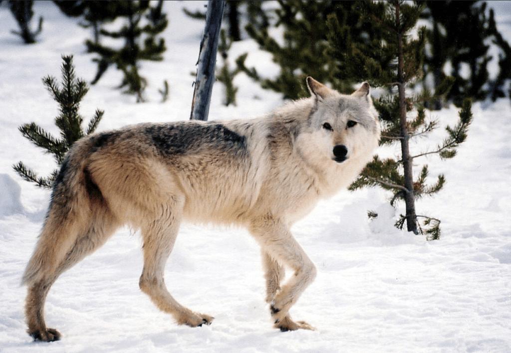 California's New Family Of Wolves: The Lassen Pack