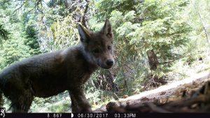 California Wolf Pack