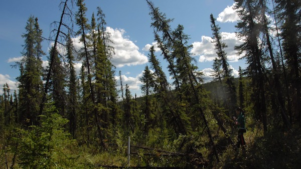 drunken forest in Arctic National Wildlife Refuge