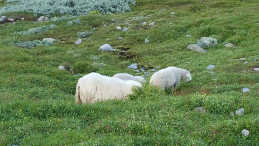 Happy sheep grazing in emerald green Norwegian Fjords
