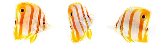 Coral Reef - Butterflyfish