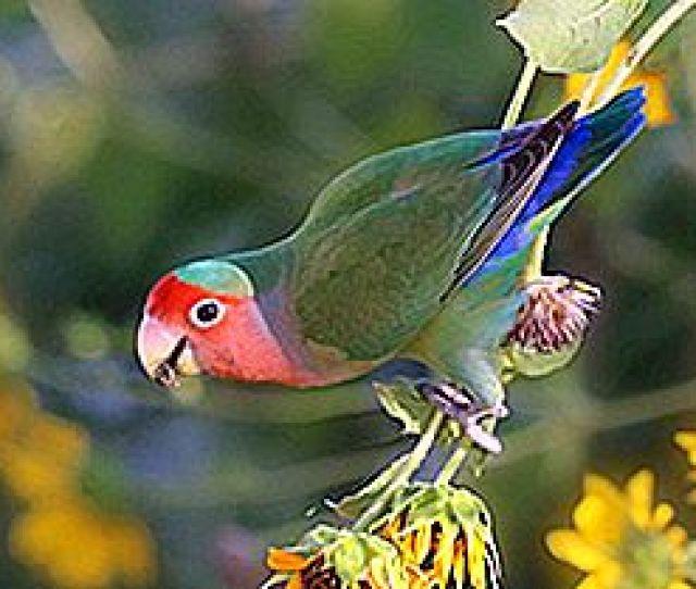 Les Inseparables Sont Des Oiseaux Du Genre Agapornis Ces Oiseaux Sont Celebres Pour Leurs Couleurs Vives Leur Nature Affectueuse Et Leur Forte Liaison