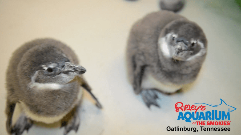 Ripleys-Aquarium-Smokies-Baby-Penguins