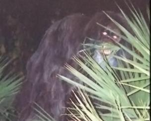 skunk ape