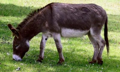 How Chinese triggered boom in Nigeria's donkey trade
