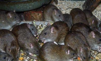 LASSA FEVER: Expert offers advice on avoiding the plague