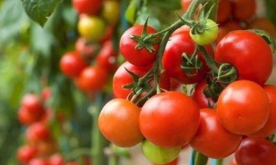 Dangote seeks total ban on tomato importation
