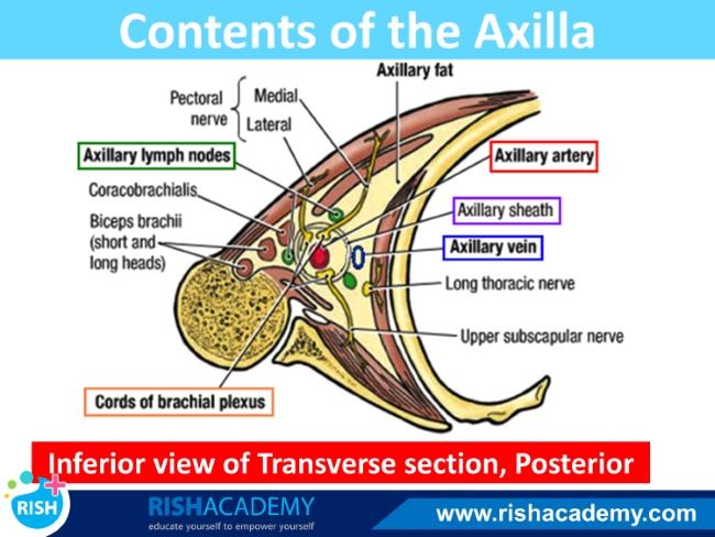 axilla (4)