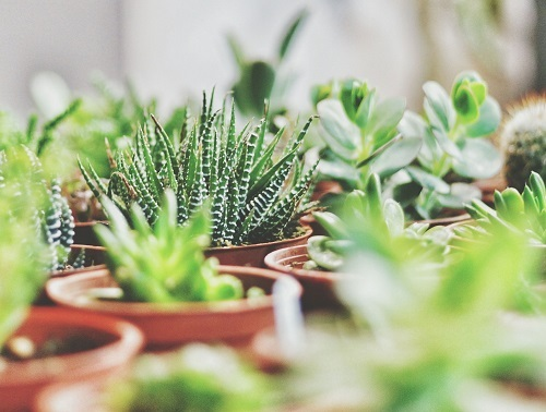 Benefits of buying Succulents online