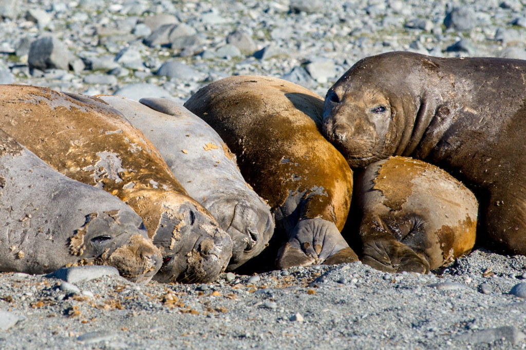 These elephant seals are grumpy because they're molting. All their fur falls off and they grow a whole new coat during the summer.