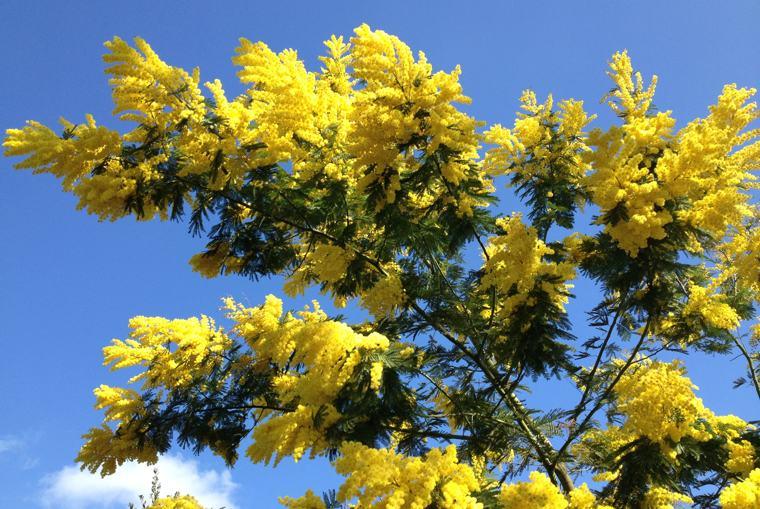 8 marzo bufala. Un bell'albero di mimosa, simbolo dell'8 marzo