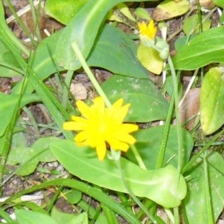 lost valley flower