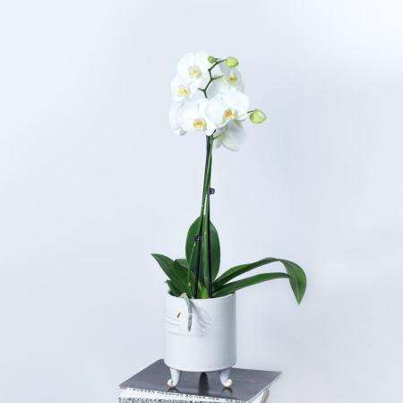 Balta orchidėja baltame vazone