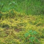 Parazitinis brantas (lot. Cuscuta) – protingiausias augalas mūsų planetoje